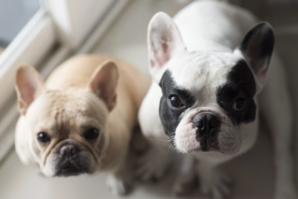 French bulldog sit and looking