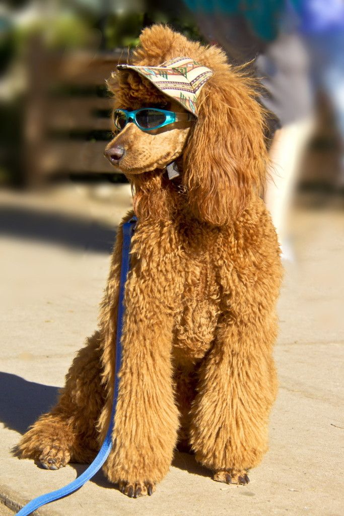 apricot poodle in sunglasses poses on the street