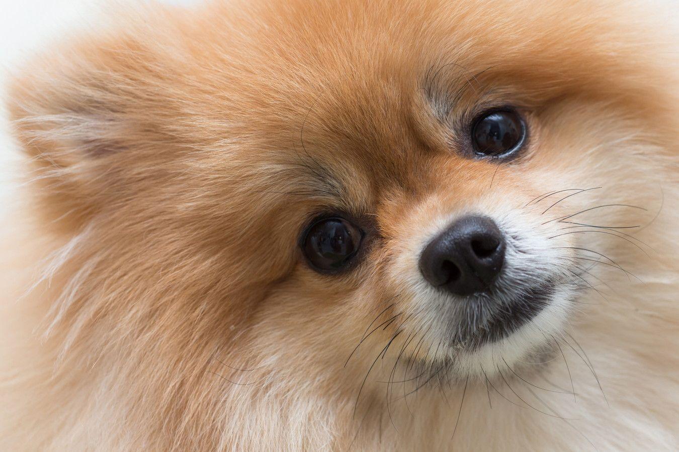 愛嬌たっぷりアイドル犬!愛され上手なポメラニアンの魅力