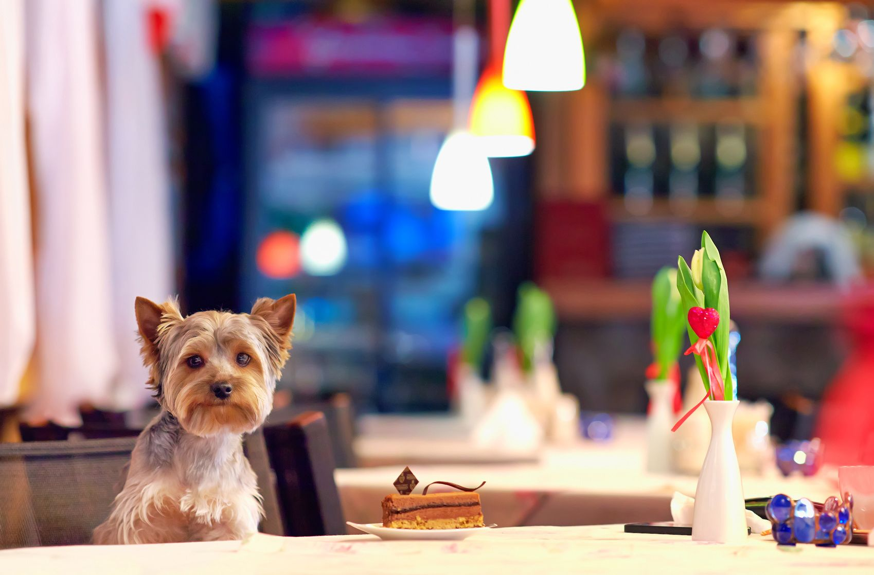 Yorkshire terrier enjoying dessert in cafe