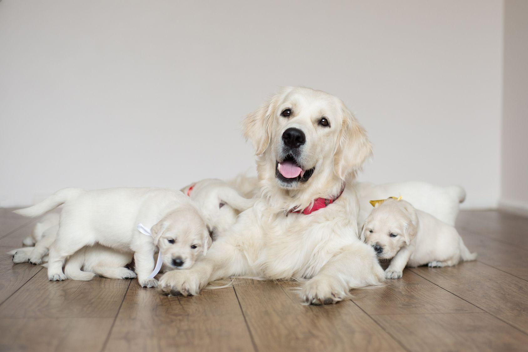 大型犬人気No.1!「ゴールデン・レトリーバー」の特徴や性格・病気・飼い方は?