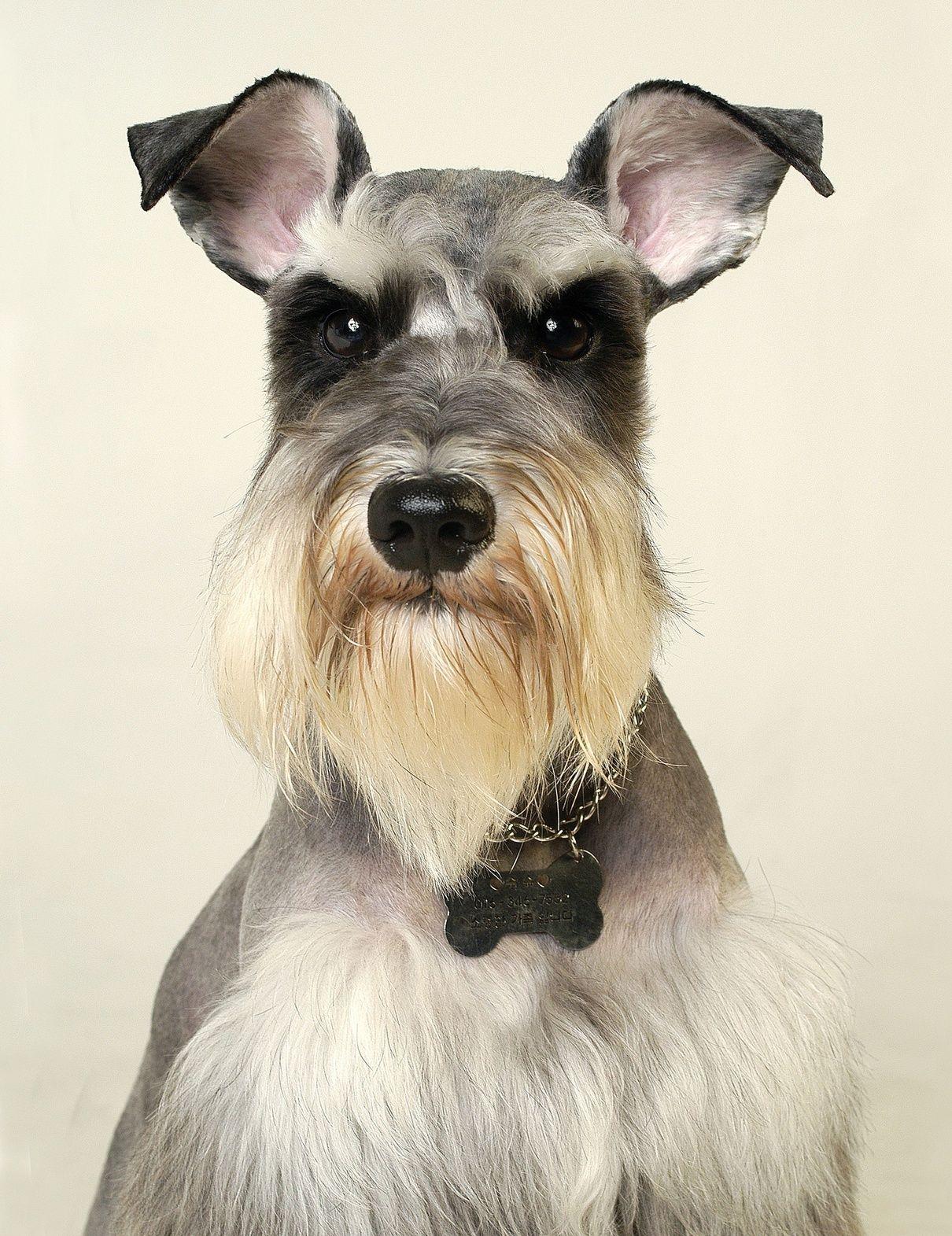 口髭とまゆげが特徴的!おじいちゃんのようなミ二チュア・シュナウザーの魅力と飼い方まとめ!