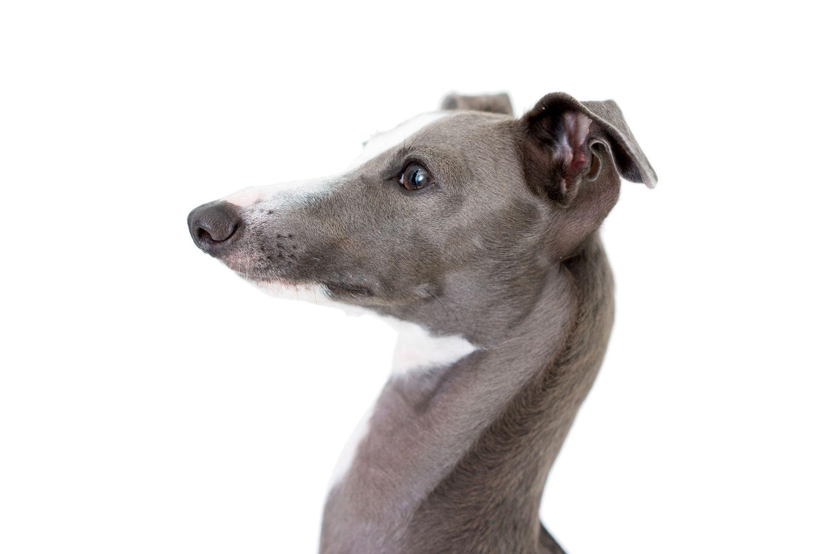 細身ボディにうっとり!イタリアン・グレーハウンドの性格、飼い方のポイントは?