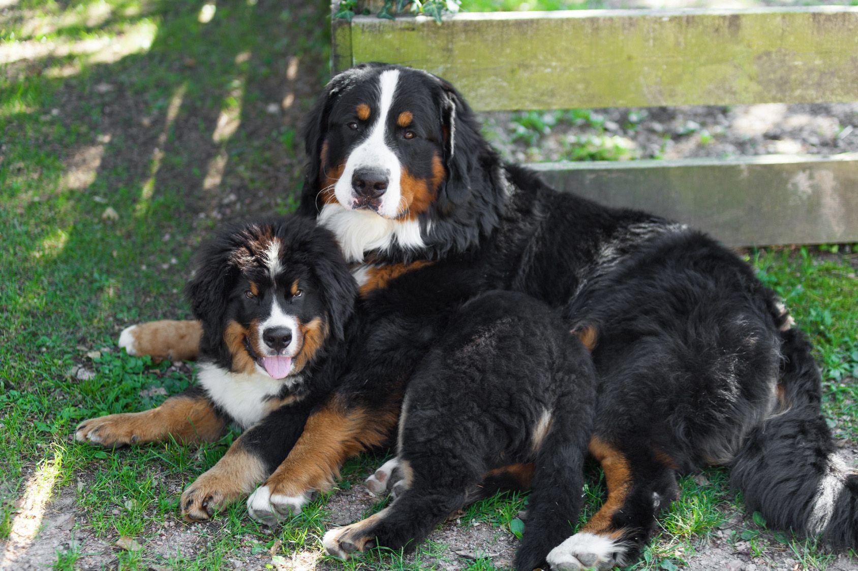 触れ合うのが大好き!バーニーズ・マウンテン・ドッグの特徴、飼い方のポイントとは?