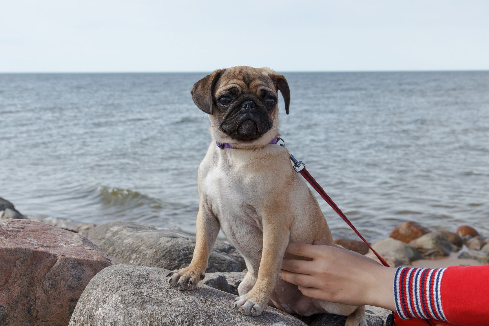 A pug sitting on a rock by the sea