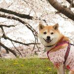 桜を見ながら愛犬とお散歩できる【関東】お花見名所5選