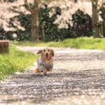 ドッグランもあり!愛犬も楽しめる東京のお花見スポット5選