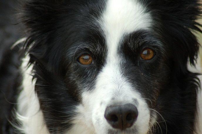 圧倒的な知能の高さ!ボーダーコリーの特徴や飼い方を知っておこう!