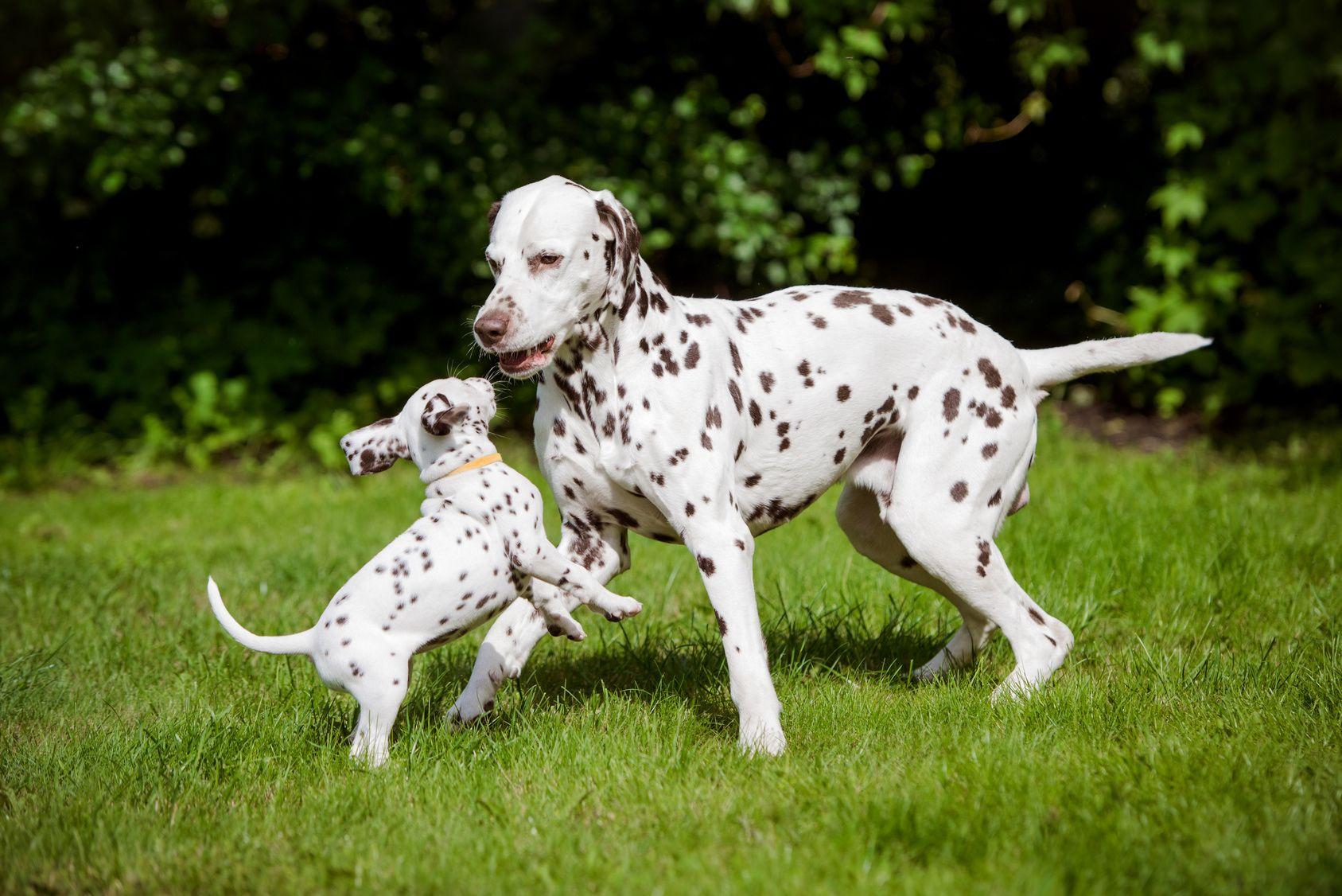 dalmatian dog playing with puppies