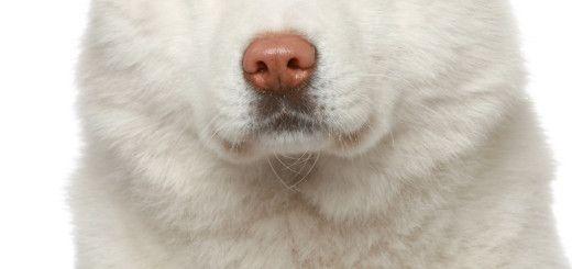 Akita inu dog. Close-up portrait on white background