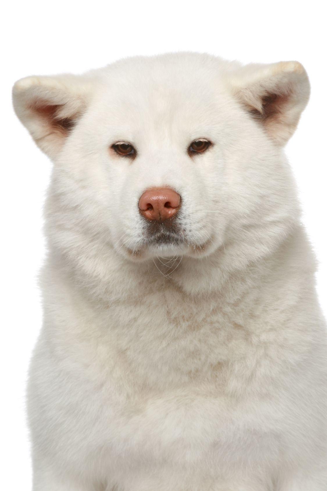 くるりと巻いたしっぽがカワイイ!天然記念物の秋田犬 その性格や飼い方のコツ