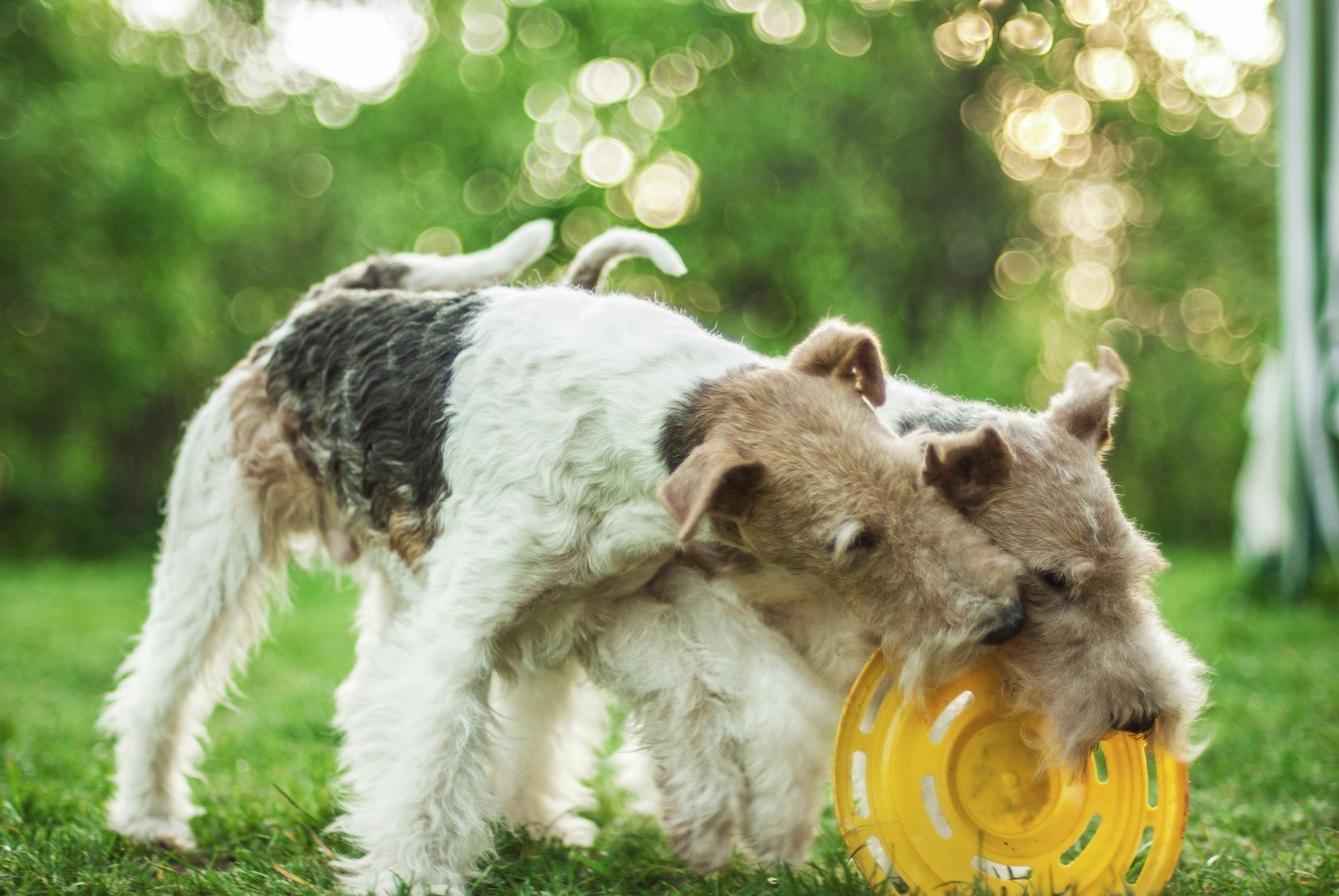 Two dog breeds Fox-Terrier play with plate on green lawn.