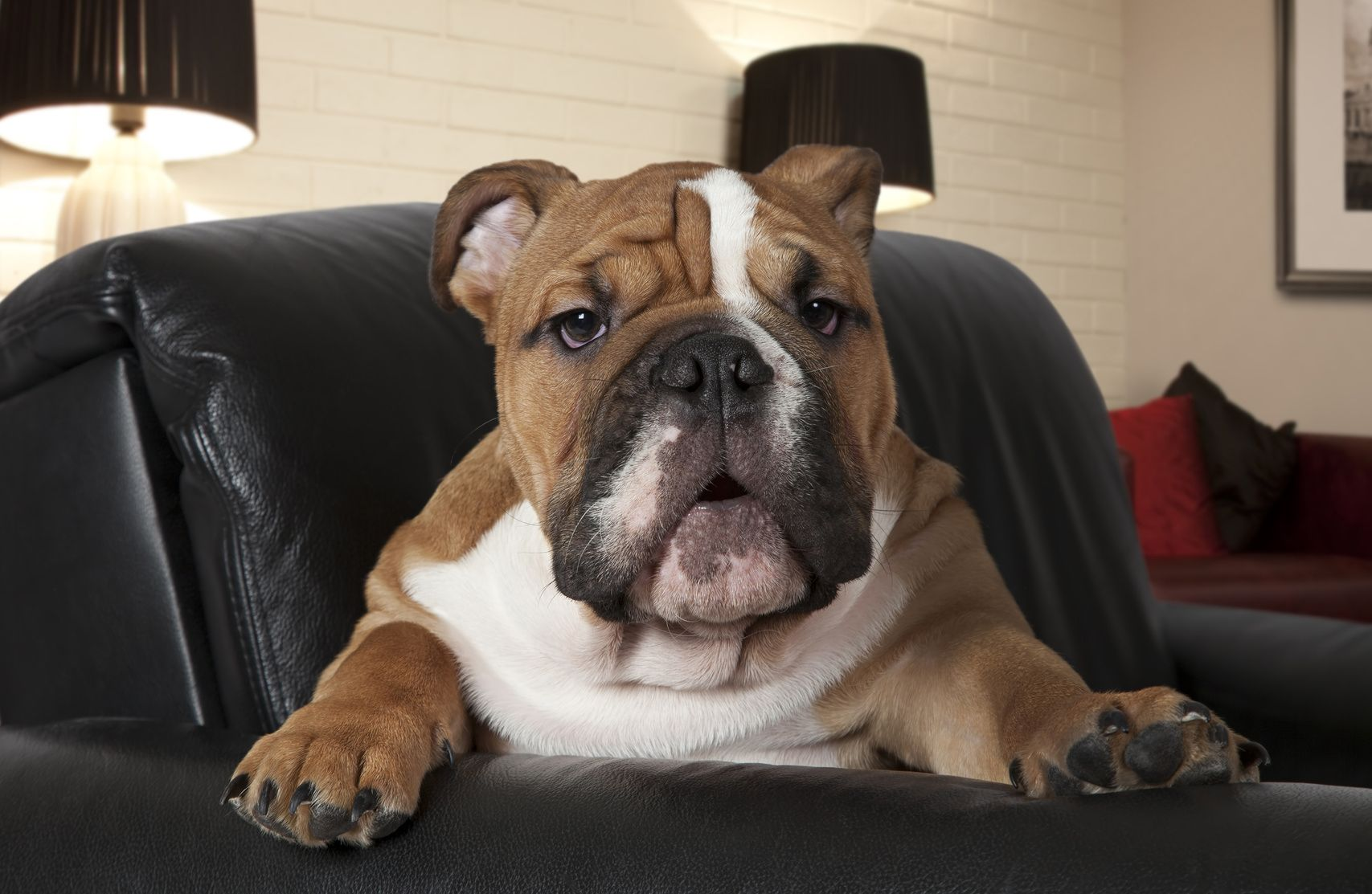 English Bulldog sitting in a black leather chair in the living room and looking at the camera