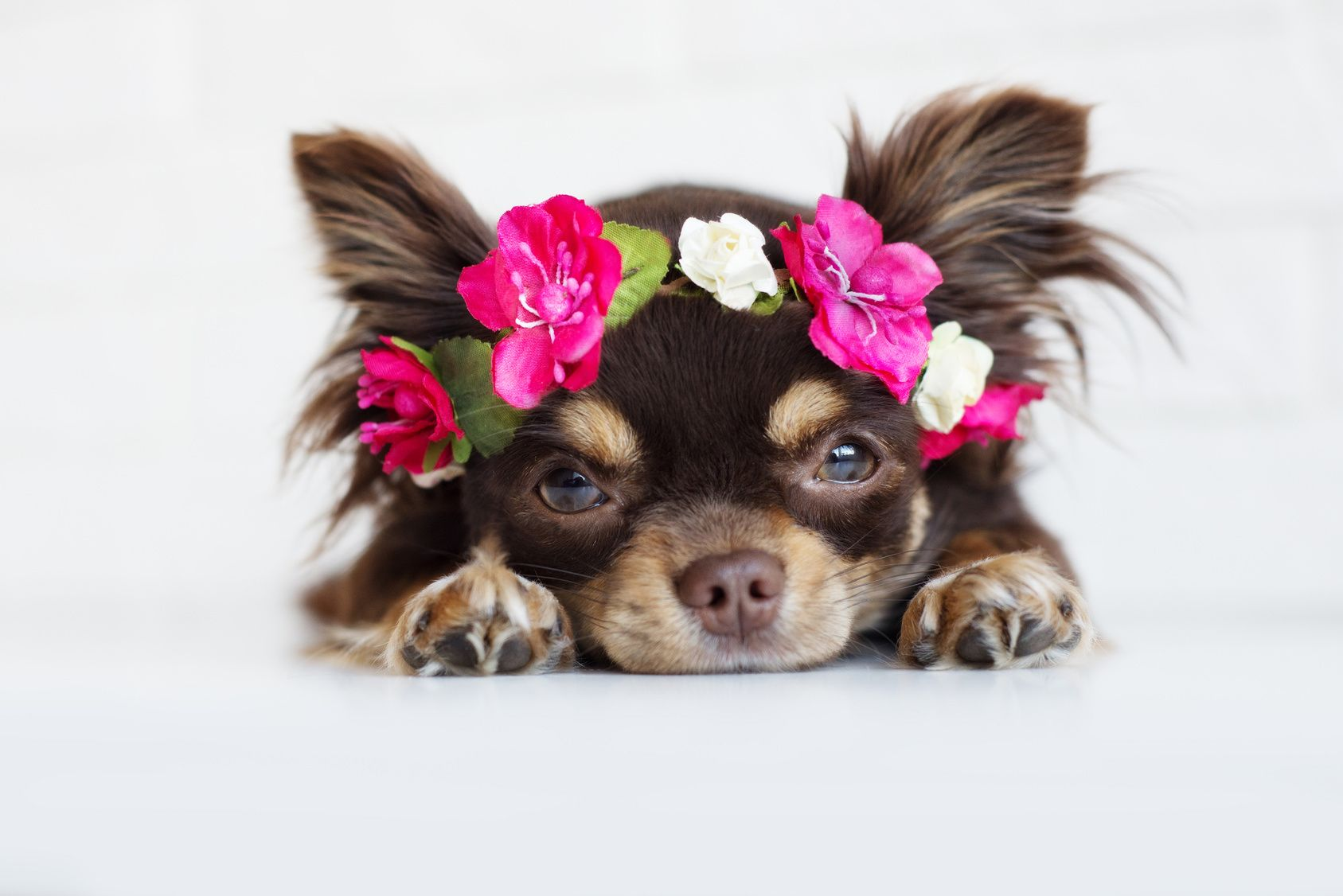 funny chihuahua dog in a flower crown