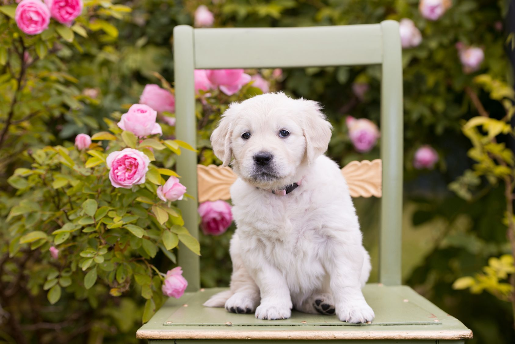 adorable golden retriever puppy sitting on a chair