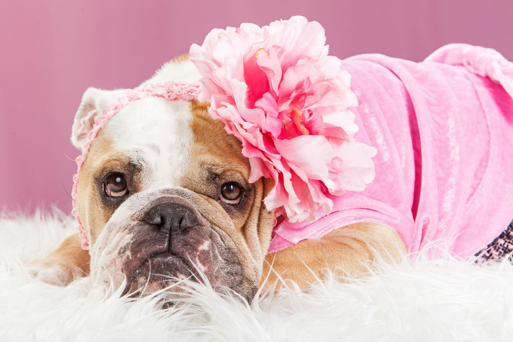 Adorable female English Bulldog breed dog wearing a pink outfit and big flower headband laying on a white fur blanket