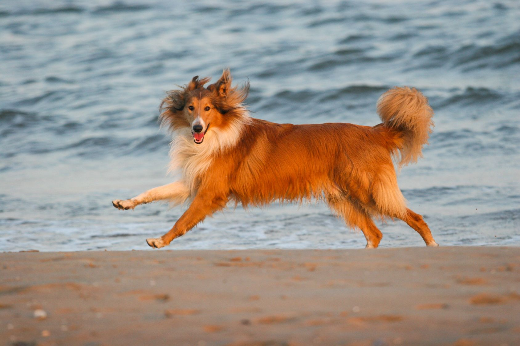 Purebred Rough Collie dog portrait  in outdoors