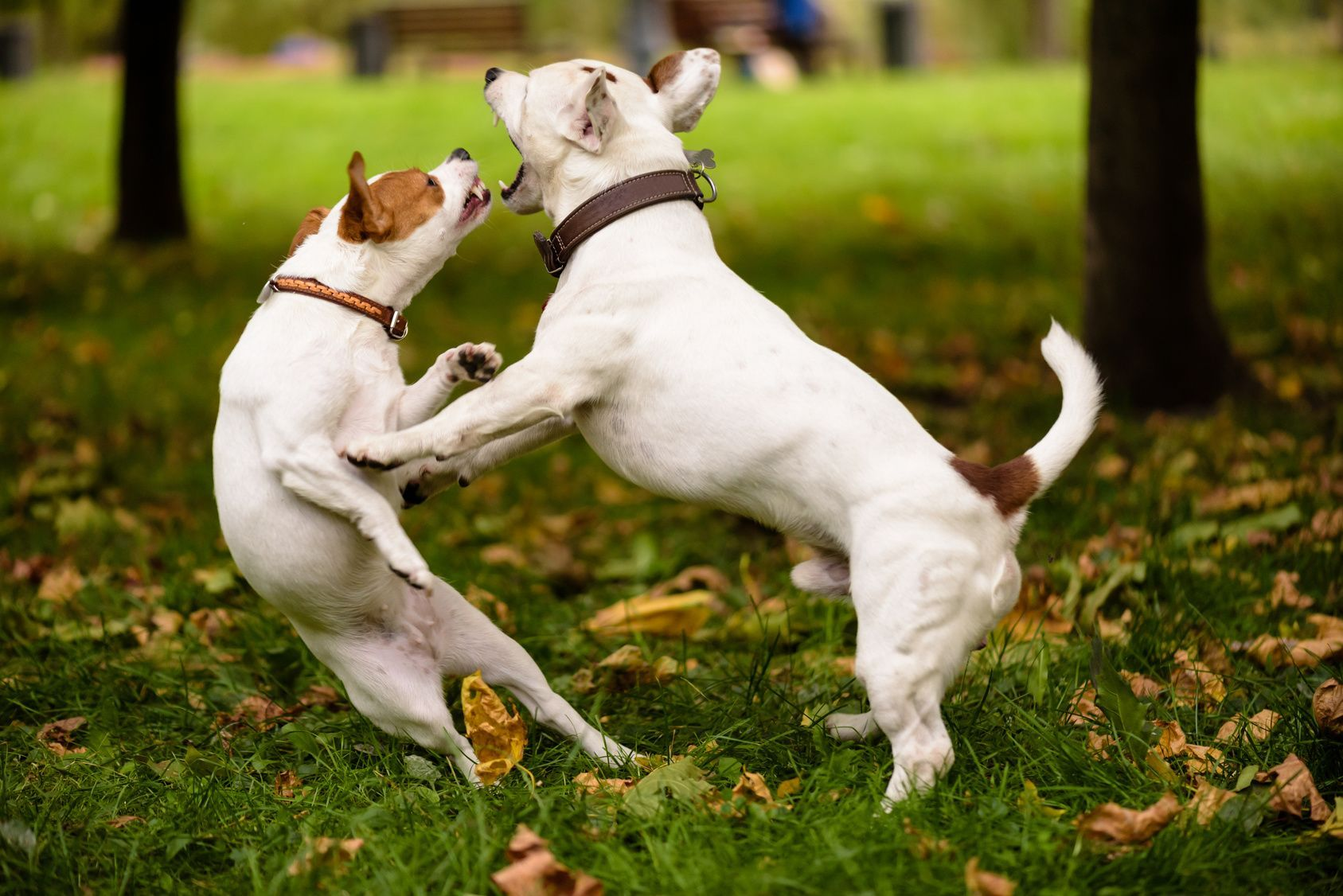 Dance of two dogs.  Pair of Jack Russell Terrier playing love game