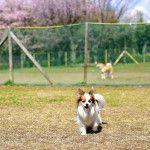 桜舞い散る中で遊ぼう!南関東にあるお花見ドッグラン10選!