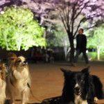 関東地方で愛犬とライトアップが楽しめる夜桜・お花見スポット11選
