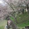 お花見を満喫!自然豊かな駿河平自然公園で愛犬も大喜び<静岡県・駿東郡>