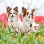 愛犬と楽しむ春の花畑散歩!関東でチューリップが咲くペット可の公園11選!