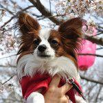 4月下旬から見頃の遅咲き桜!都心から愛犬と日帰りで行けるお花見スポット5選!