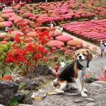 40種類約10万本のつつじが咲き誇る小室山公園で愛犬とお散歩♪<静岡県・東伊豆>