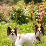 春バラの季節!関東で愛犬と一緒に春バラが楽しめるバラ園10選!