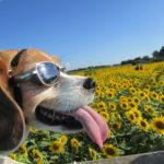 一面夏色♪愛犬と一緒にひまわりまつり<神奈川県・座間市>
