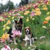 夏の避暑地で愛犬と楽しむサンメドウズ清里スキー場<山梨県北杜市>