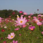 愛犬と秋のお花畑を♪関東で愛犬と一緒にコスモスが見られるスポット5選
