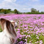 「富田さとにわ耕園」は愛犬と芝桜やコスモスが見られる千葉市の穴場スポット!