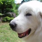 大型犬の老犬介護のヒントに!~グレートピレニーズの介護体験記~