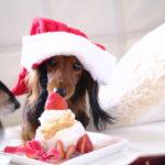 愛犬に食べさせたい!かわいくてカラダにもいいクリスマスケーキ特集♪