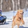 雪遊びが得意なワンちゃん必見!関東周辺の愛犬と楽しめるウィンタースポーツ大会特集2018