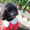 冬でもあったか!春を先取り♪愛犬と一緒にイチゴ狩りが楽しめる関東近郊のいちご農園
