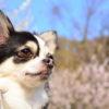 【2月中旬~3月中旬まで見頃】愛犬と一緒にお花見!洞慶院の梅園・久能梅園・日本平梅園<静岡県静岡市>