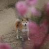 愛犬と一緒に梅の特産地・群馬の有名梅林を巡る旅!日帰りまたは一日コース