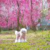 【梅の見頃は2月中旬~3月下旬】ドッグランがある「花の奥山高原」と姉妹園「大草山 昇竜しだれ梅園」<静岡県浜松市>