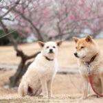 【関東海岸エリア】愛犬と一緒に楽しめる神奈川・千葉・茨城のおすすめ梅園6選!