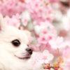 人気の伊豆旅行!愛犬と一緒にお花見&リフトで空中散歩&ラグジュアリーホテル「ウブドの森」に宿泊