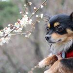 【近畿エリア】2月下旬~見頃!愛犬と一緒に散策しながら絶景が楽しめるおすすめ梅園3選