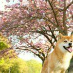 高知県は桜前線のスタート地点!愛犬と散策しながら楽しめるお花見スポット<四国地方>