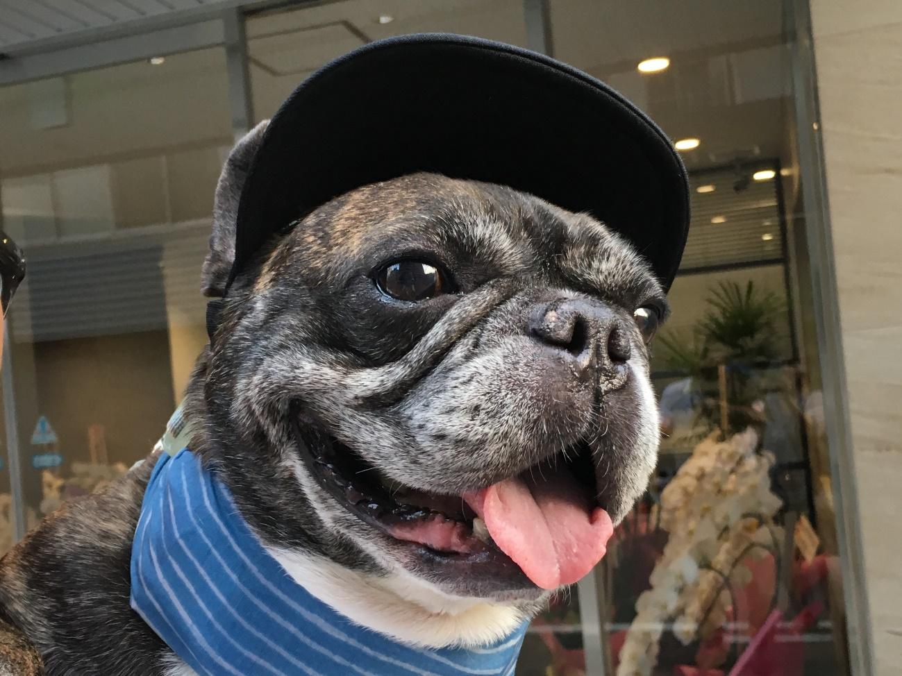 ブルドッグ 保護 犬 フレンチ