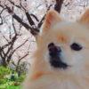 お花見はメジャースポットだけじゃない!愛犬とめぐる桜散策のススメ