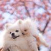 愛犬と一緒にお花見♥「日本さくら名所100選」千葉県 清水公園でお花見&しろいぬカフェでお食事!