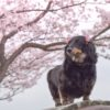 琵琶湖周辺で愛犬と桜を愛でる旅~♪おすすめお花見スポット&こだわりカフェ