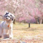愛犬一緒にお花見♥のんびり散策しながら楽しめる桜の名所<中国地方>