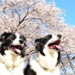 日本一の桜も!?愛犬と散策しながら楽しめる近畿地方の絶景お花見スポット<大阪・京都・兵庫・奈良>